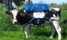 La vache, un générateur de carburant vert ?