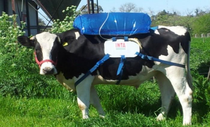 vaca-inta-3-700x424